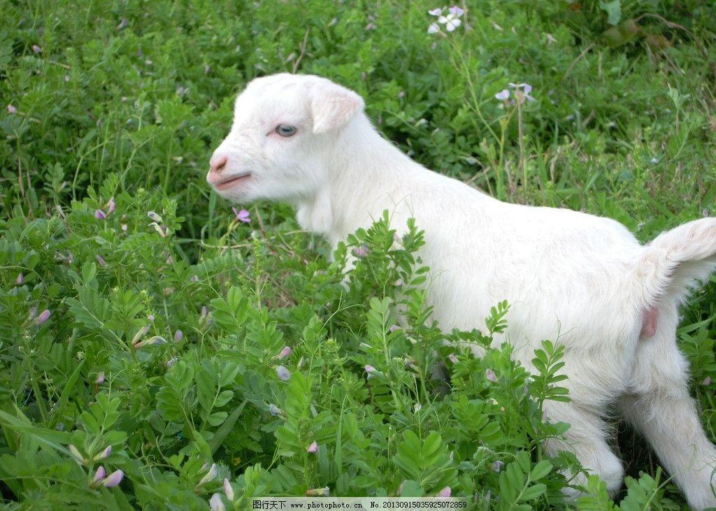 小羊找妈 青草上 渔山 风景图 豆荚花 家禽家畜 生物世界 摄影 300dpi