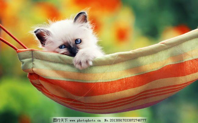 可爱的小猫 可爱的小猫免费下载 宠物 吊床 动物 小动物 图片素材