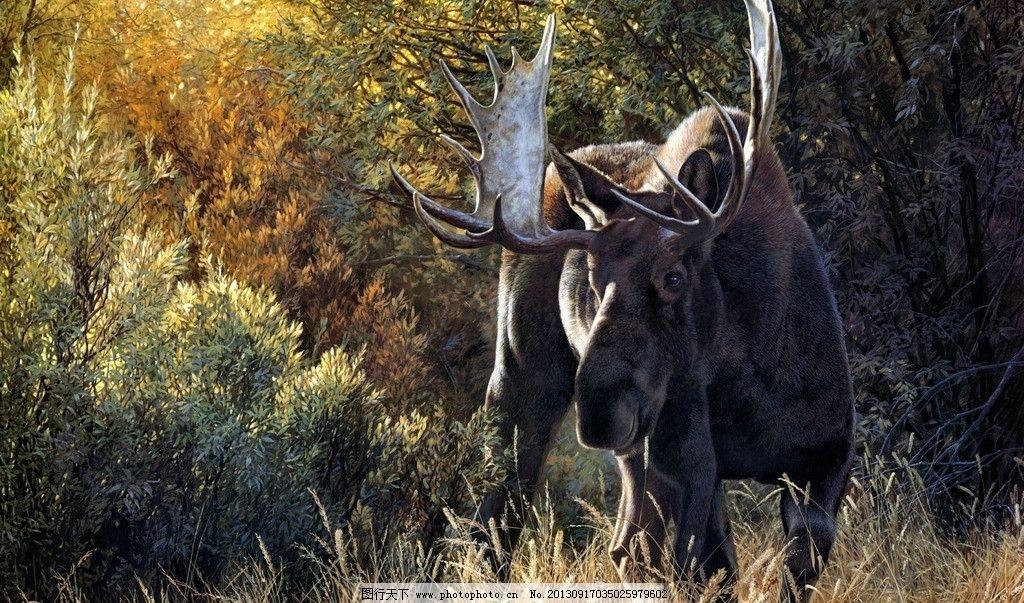 驼鹿 罕达犴 堪达犴 野生动物 生物世界 摄影 72dpi jpg