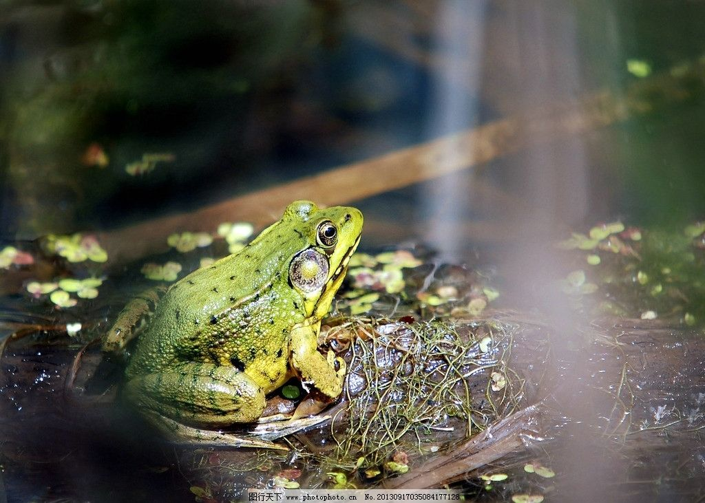 青蛙 青蛙图片素材下载 绿青蛙 青蛙纹 青蛙大眼珠 青蛙斑纹 两栖动物