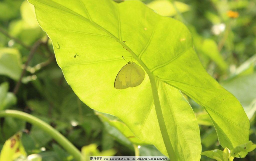 昆虫 蝴蝶 树叶 绿色的蝴蝶 生物世界 摄影 72dpi jpg