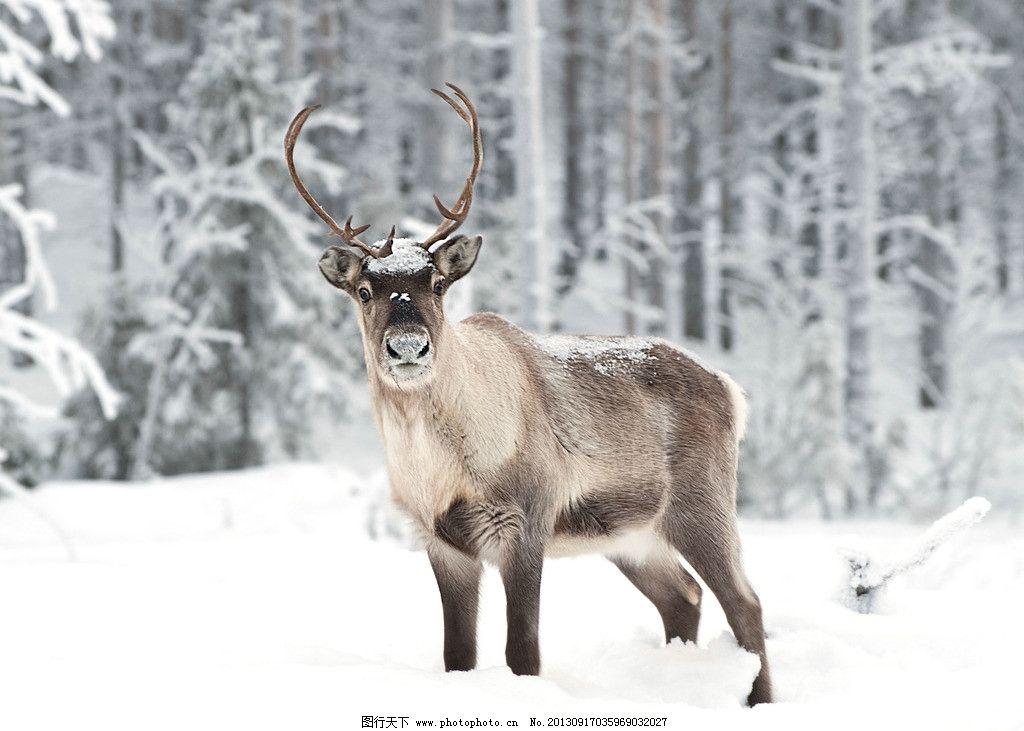 驯鹿 北欧 芬兰 萨米人 北极圈 摄影图片