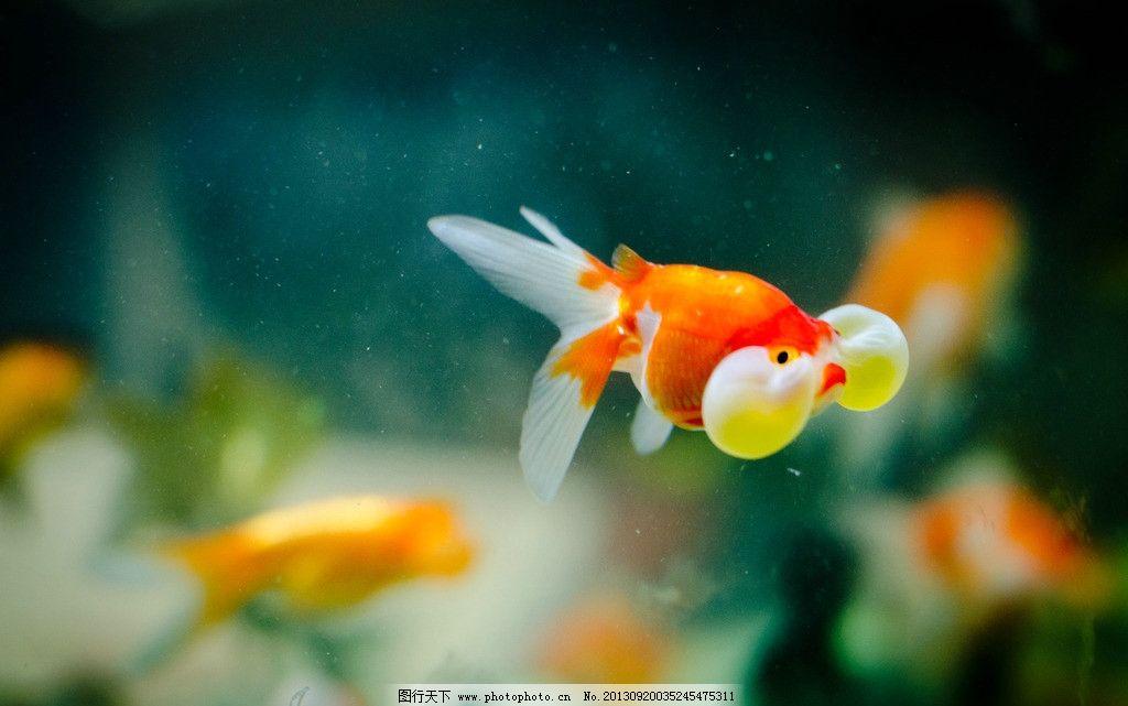 观赏鱼 大眼金鱼图片