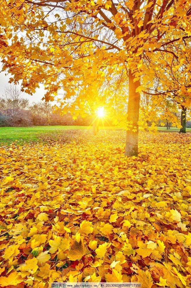 秋景 阳光 秋韵 枫叶 枫树 落叶 树叶 自然风景 秋天 树木 壁纸 生物