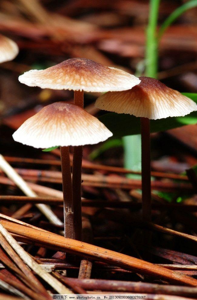 平菇子实体形态结构简图