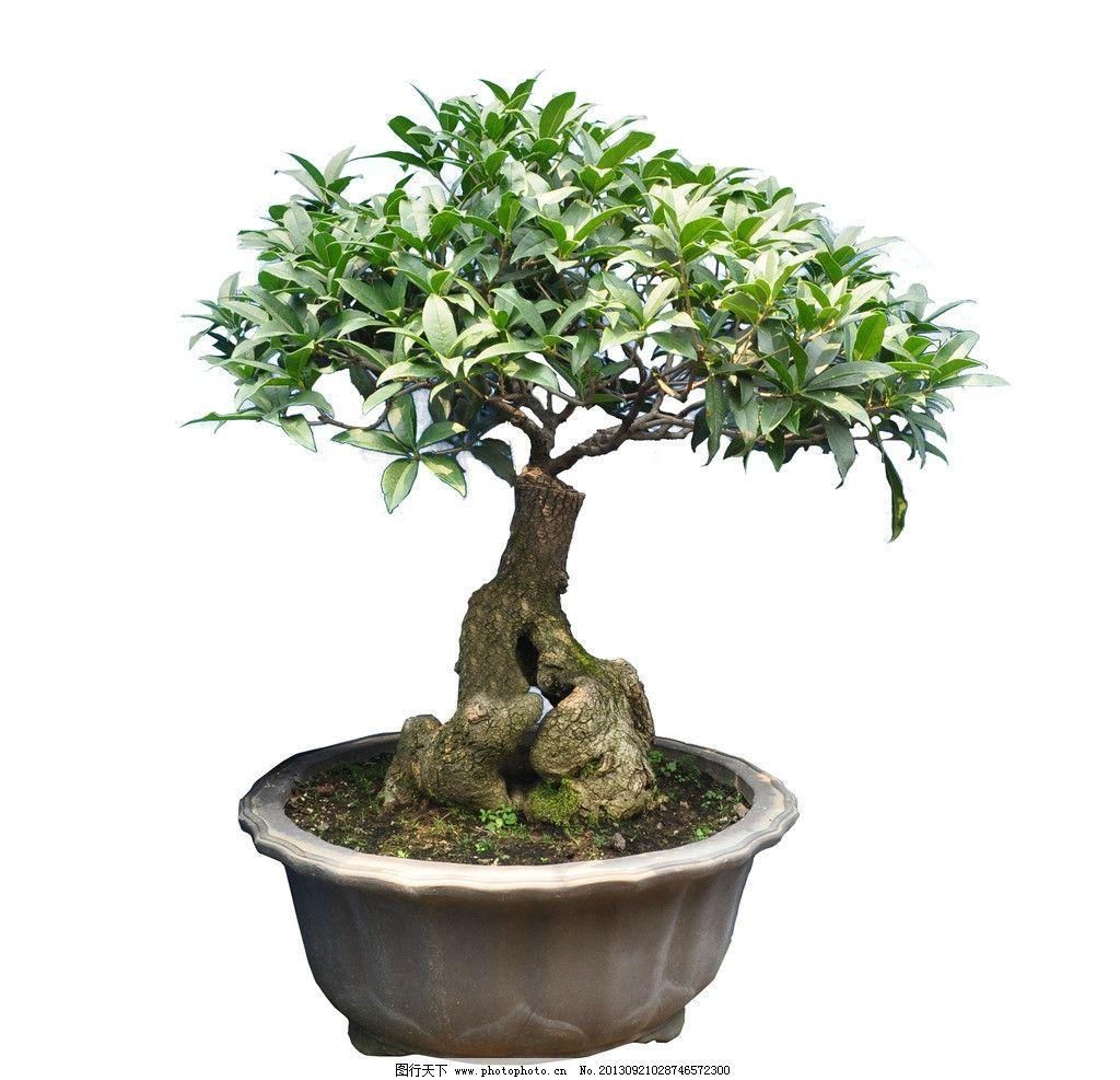 桂花盆景 园林绿化盆景 花卉 绿化 盆景 苗木 桂花 园林设计 环境设计