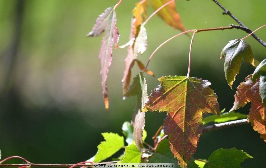 树叶 红叶 绿叶 逆光 秋天 树木树叶 生物世界 摄影 300dpi jpg