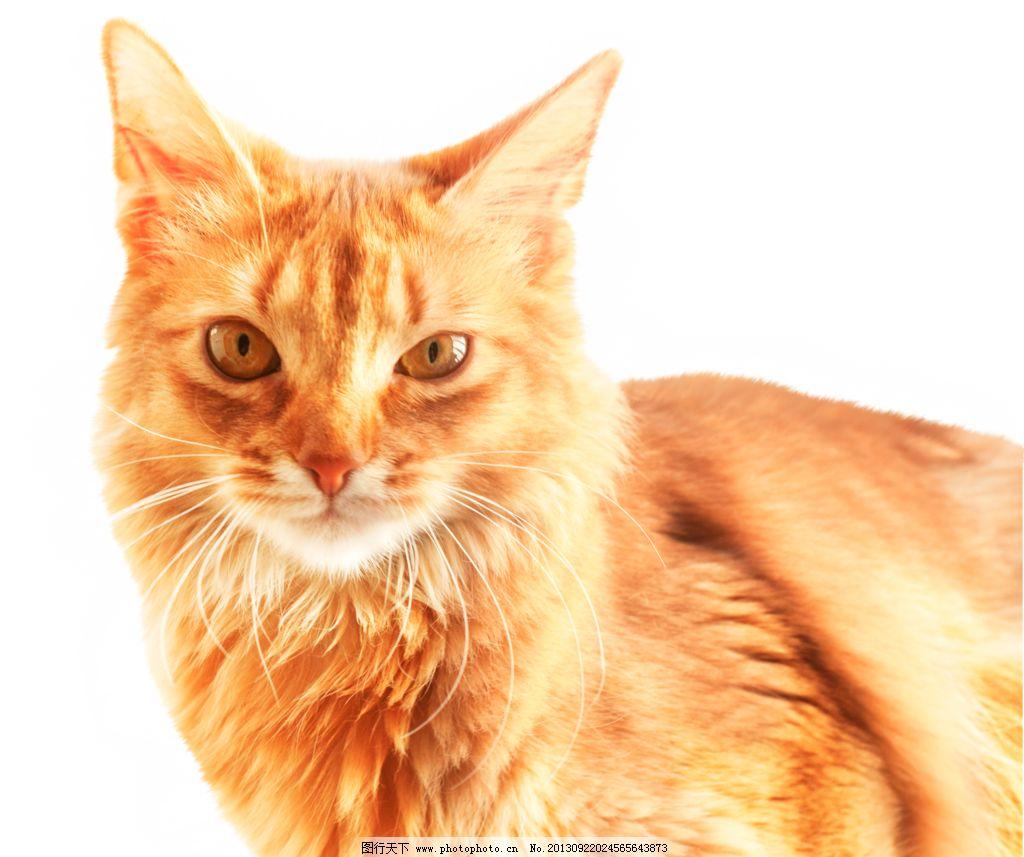 小猫 家禽 可爱动物 黄色 猫 猫的素材 家禽家畜 生物世界 设计 137dp