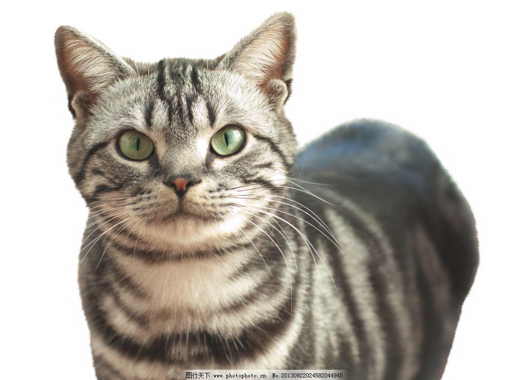 小猫 家禽 可爱动物 黑白纹 猫 猫的素材 家禽家畜 生物世界 设计 137