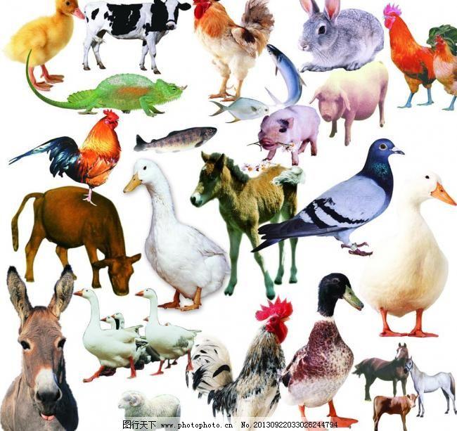 家禽 家畜 动物 鱼类图片
