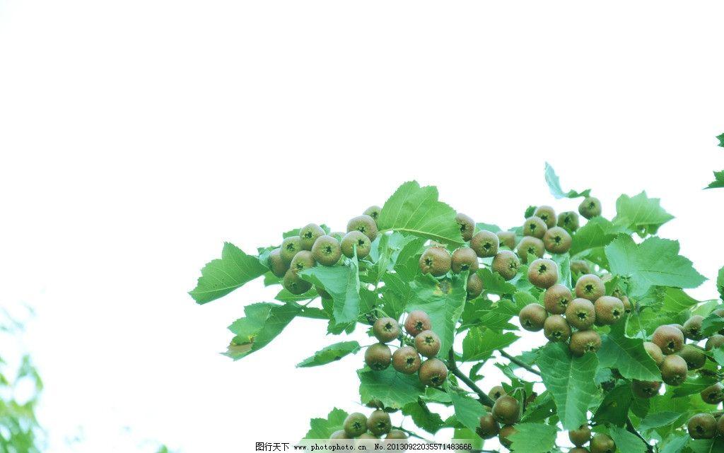 山楂 山楂图片素材下载 摄影 侧逆光 雨后 幼果 夏末 浓绿 水果 植物