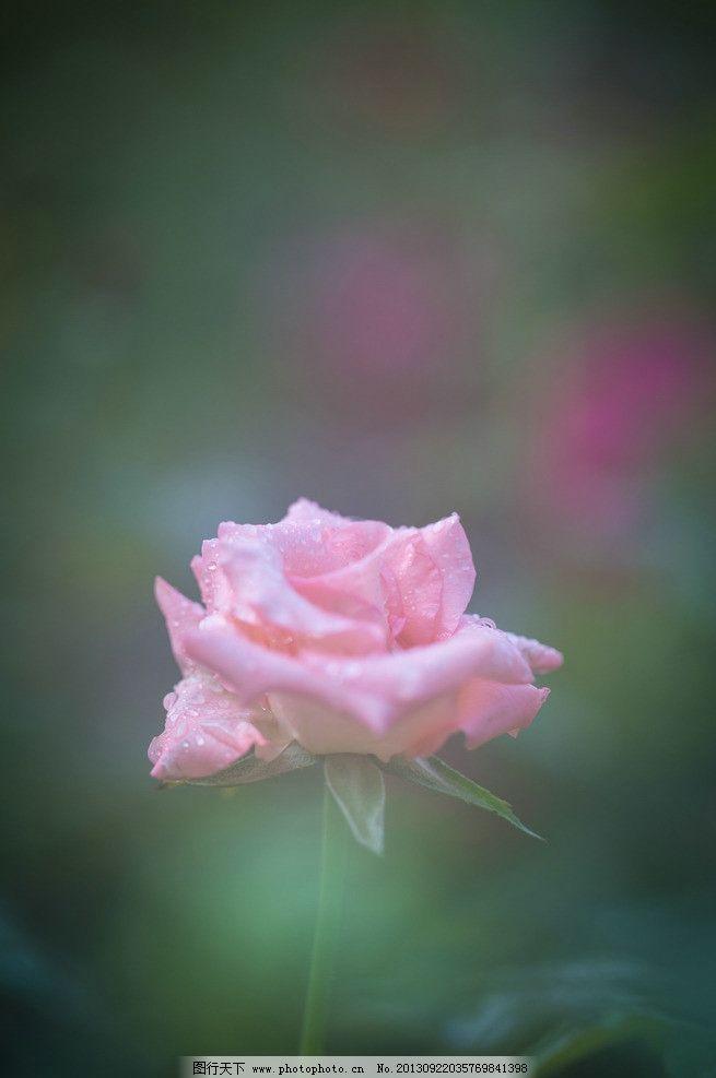 粉红玫瑰 玫瑰花 粉红 一枝花 花朵 绽放 花草 生物世界 摄影 240dpi