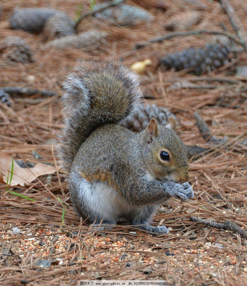 松鼠 绒毛 白毛 松毛 树叶 松果 摄影 素材 动物世界 野生动物 生物世