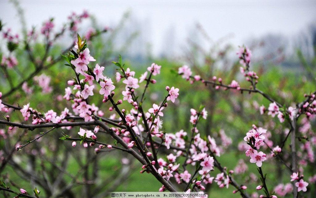 桃花 林木 花蕾 春天 踏青 风景 花草 生物世界 摄影 300dpi jpg