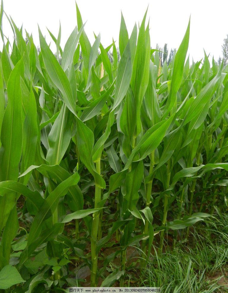 玉米实验步骤图片