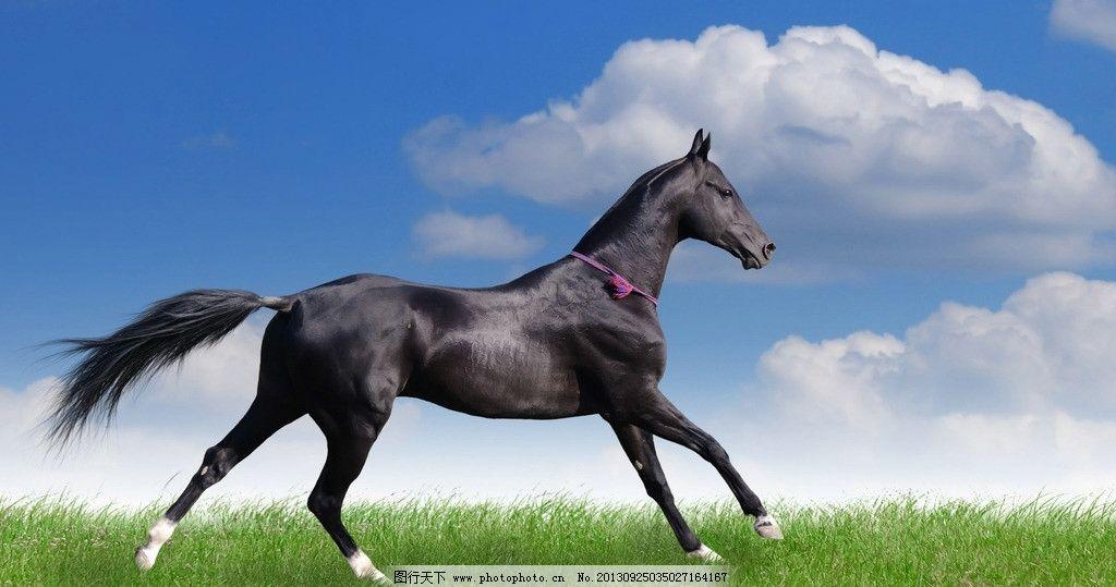 骏马 马 群马 黑马 马匹 蓝天 白云 奔腾 草地 野生动物 生物世界