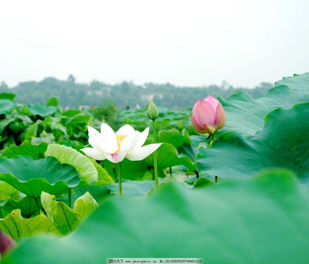 荷花图片,池塘 青草 水珠 白莲花 红莲花 花草 生物