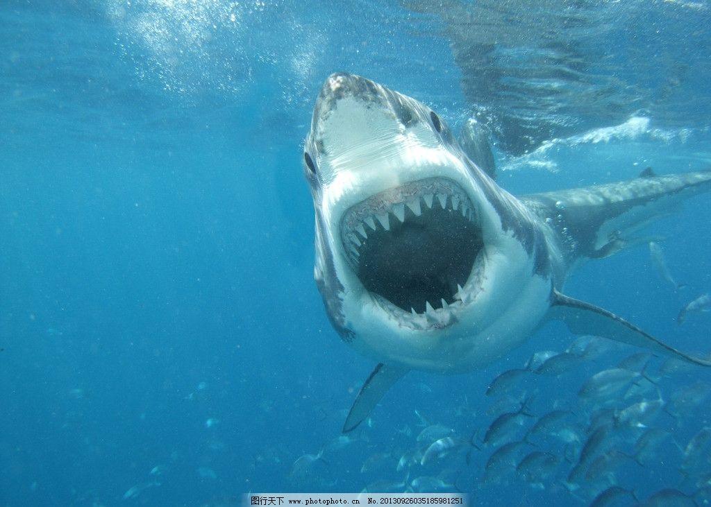 大白鲨图片